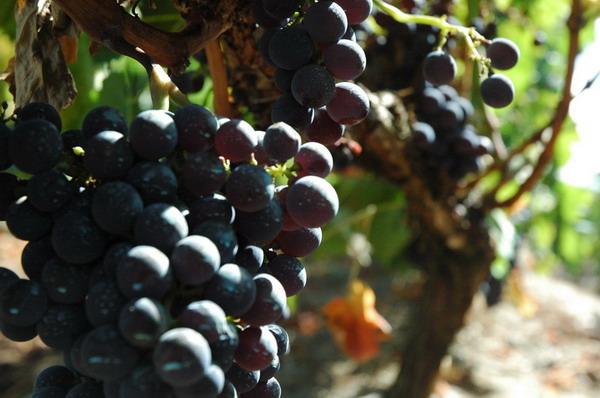 Uvas da Ribeira Sacra